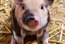 Possut (Piggys)