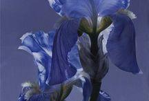Flower: Iris