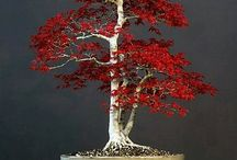 Bonsai-Small Tree