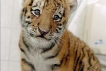 tigrecito