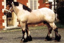 Trait du Nord / country of origin - France | average height at least 163 cm | colours - black, bay/brown, chestnut, grey, roan pattern | uses - agricultural work, driving, show horse