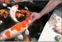 #KOI FISH