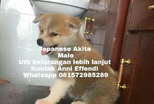 von javelline Kennel jual anjing Japanese Akita