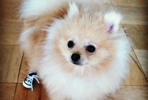 Pomeranians / Pomeranians!!!.. Our Fox Face Four Legged Babies!! / by Mary Anne Allen