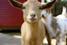 animals - goats & sheep, kids & lambs