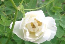 Colours in my garden - White