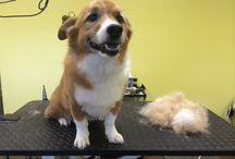 """Client Photos / We have some adorable """"knotty dogs"""" that visit our spa, check out their makeovers here! www.knottydog-alabama.com 10699 Old Hwy 280, Chelsea AL 35043 Phone:205-678-8779"""