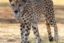 Cheetahs / Some of the beautiful cheetahs housed at the Ann van Dyk Cheetah Centre of Dewildt