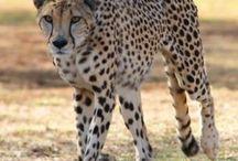 Cheetahs / Some of the beautiful cheetahs housed at the Ann van Dyk Cheetah Centre of Dewildt