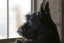 The Scottsman / Ode to the Scottie Dog / by Chocolatiere Phys