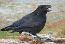 Ravens and Crows / Birds of the genus Covus