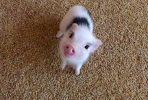 minipig I NEED ONE