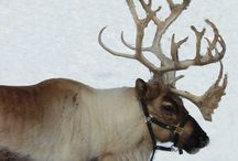 Christmas reindeer research