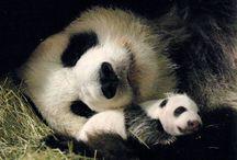 Pandas / by Jeri McClure Kurre