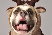 dogs all dressed up / Pictures of dogs all dressed up. From dogs wearing dresses to dog jewelry to dogs in costumes you will find it all here. Cute dog pictures. Find ideas to dress up your pup for fun or for utility .  / by Felissa Elfenbein (TwoLittleCavaliers)