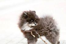 Pomeranian / Sweet little pomeranians ❤️