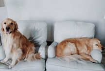 Goldens are the best