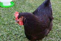 My lovely chickens / Backyard chickens