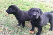 Labrador Breeders / Labrador Breeders! If you are a breeder please join by asking for an invite!