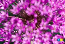 Bijzondere bloemen(foto's) / Foto's van 'gewone' bloemen die gewoonweg heel mooi zijn of die mooi in beeld zijn gebracht. Voor echt bijzondere bloemen hebben we een apart prikbord.