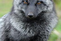 Wolfs and foxs