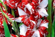 Gladiolus - gladiloly - mečík (Vyšší klasifikace: Ixieae)