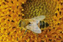 Dla insektów (pszczoły, motyle, trzmiele ...) / Rośliny wabiące owady, domki i hotele dla owadów