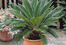 Things Cycadaceae, the Cycad family
