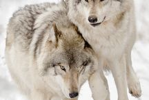 Wolves and foxes / I LOVE Wolves!!!!!  and foxes :D