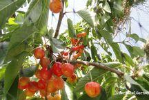 Como proteger los cerezos de los pájaros / Utilizamos redes ligeras, llamadas mallas antipájaros, con una luz de malla de 3 cm. Este sistema nos asegura que consumiremos nuestras cerezas bien maduras.
