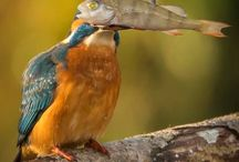 420 Common Kingfisher - Alcedo Atthis