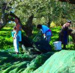 Oliven auf Kreta