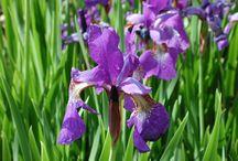 Purple Flowering Herbs