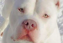 Pit Bulls / The most misunderstood creatures on the planet