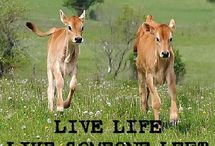 Beef Cattle Department