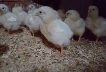 Live chicken