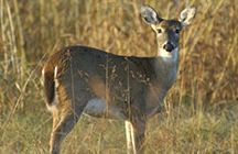 White-tailed Deer / White-tailed deer have great aesthetic, recreational and economic importance to outdoor enthusiasts and agricultural producers alike. The Noble Foundation's white-tailed deer habitat and management information  provides fundamental information about white-tailed deer, including basic biology and critical habitat information.