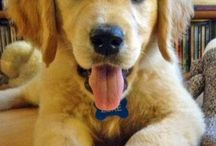 Love my golden retrievers / My dogs