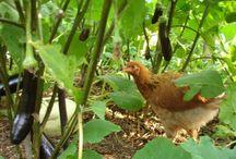 Chickens 101