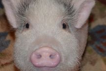 "FULL OF ENERGY - OINK - MEET NELLIE THE TEACUP PIG / Fabiano Energy - Our Company Mascot - ""Oink"""