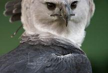 eagles - Harpy Eagle