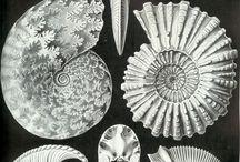 ammonitia