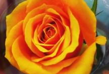 Peace Flower / 한반도의 평화를 기원합니다. 평화, 비폭력을 꿈꾸는 우리의 꽃 한송이. #평화꽃 캠페인에 참여하려면 http://khross.khan.kr/183 / by 경향신문