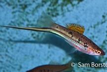 Tandkarper / levendefødende fisk