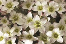 SAXIFRAGA / Varieties and Colours