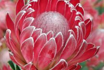 proteas ..........