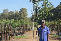 Syzygium guineense (Water Pear) / This beautiful evergreen is indigenous to South Africa and is popular as a shade tree. A medium to large tree, the Water Pear has edible fruits, an attractive foliage and smooth greyish bark. We currently stock 40L, 100L, 200L and 1000L (Last updated 28 March 2017)