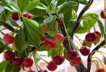 Cultivó de árboles fruta