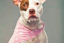 Not a Bully ♥ / Iniciado por el fotógrafo Douglas Sonders en 2012, Not a Bully (en español, No es peligroso), es un proyecto fotográfico y social que se esfuerza por educar al público sobre los problemas que acechan a los perros que injustamente han sido etiquetados como de 'raza peligrosa'.