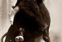Bulls / Spanish toros